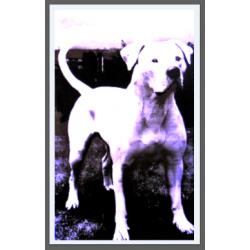 7446 - DOG AMERICAIN